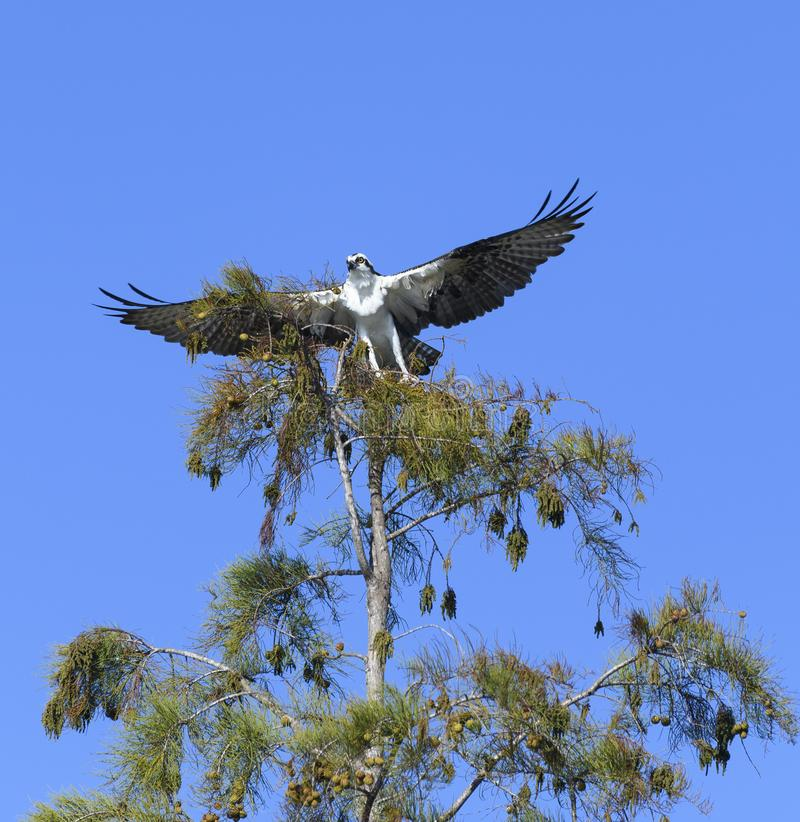 Osprey taking off from a tree top royalty free stock images
