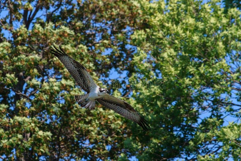 Osprey tijdens de vlucht royalty-vrije stock afbeelding