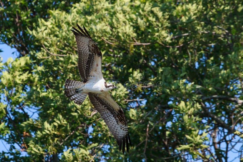Osprey tijdens de vlucht royalty-vrije stock foto's