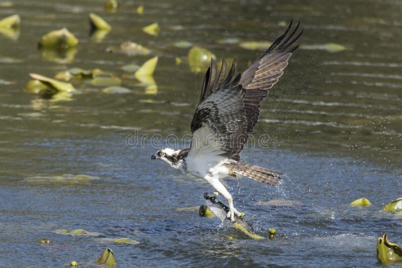 Osprey vangt vis stock fotografie