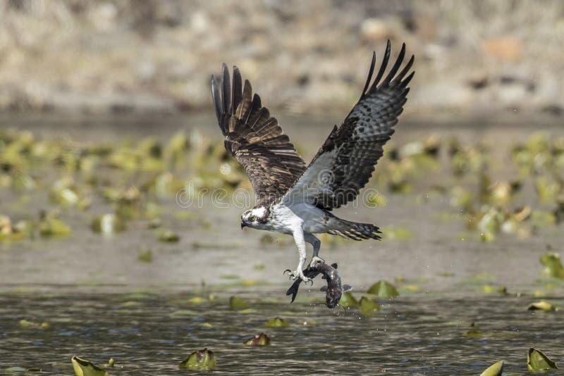 Osprey vliegt af met zijn vangst royalty-vrije stock foto