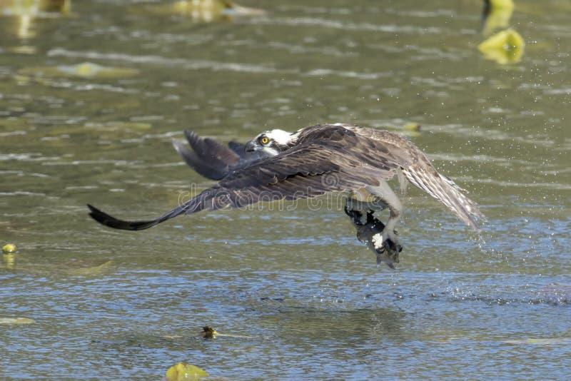 Osprey vliegt van water met vis royalty-vrije stock fotografie