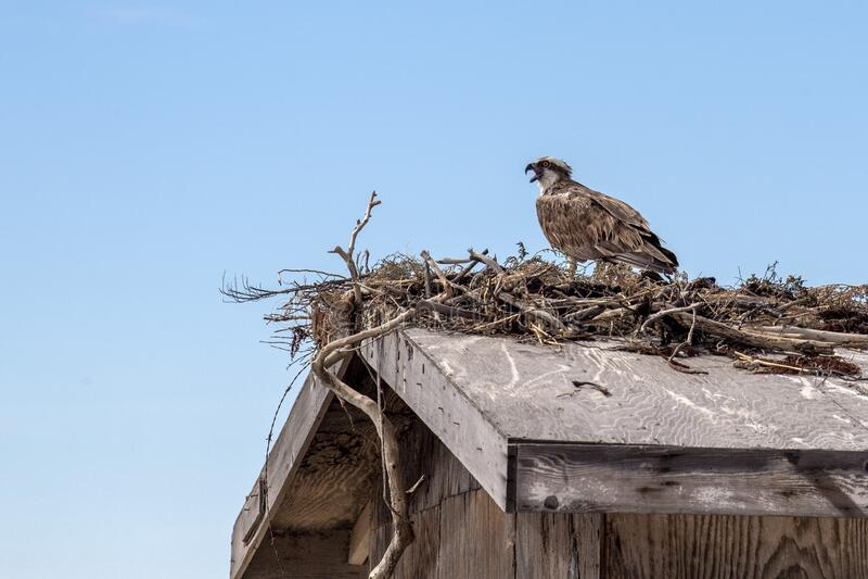 Osprey-vogel in het nest stock foto's