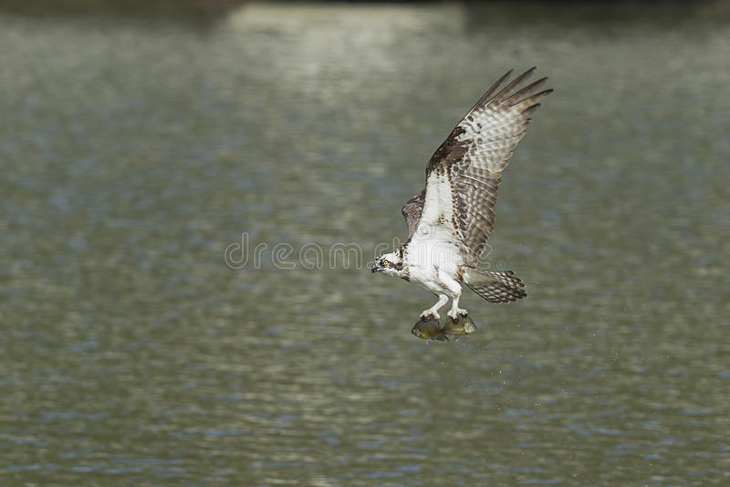 Osprey vuela apagado con dos pescados foto de archivo libre de regalías