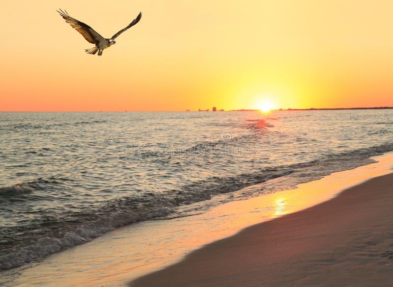 Osprey vuela sobre la playa mientras que Sun fija en la playa foto de archivo