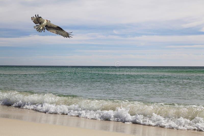 Osprey vuela sobre las ondas de la playa imagen de archivo libre de regalías