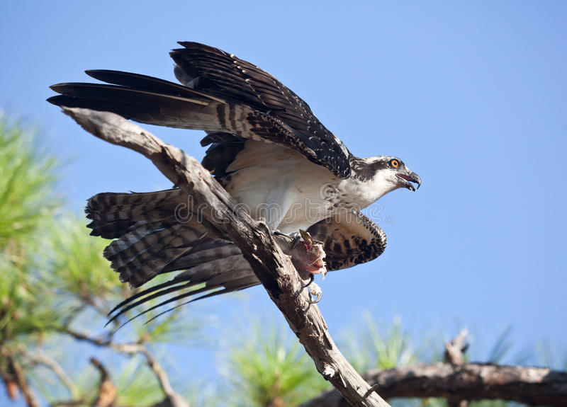 Download Osprey Witih Mackerel On Tree Branch Stock Image - Image of fort, fowl: 25839067