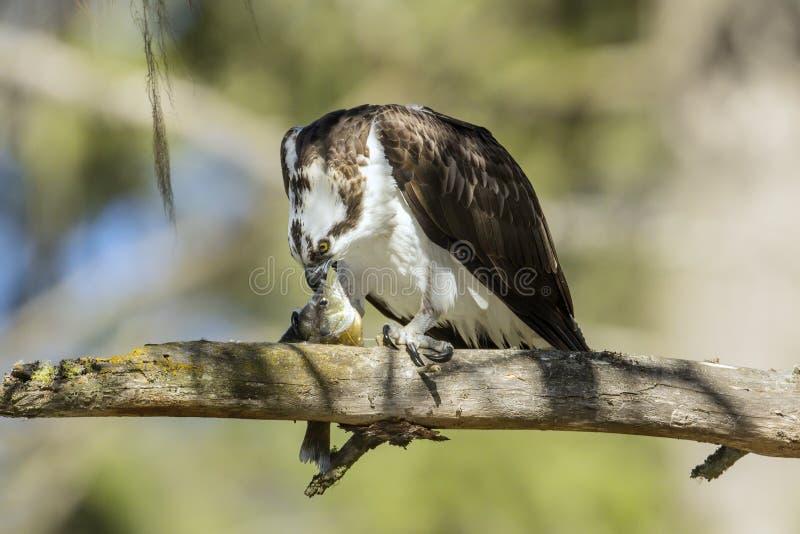 Osprey wrywa się w rybę z dziobem zdjęcia stock