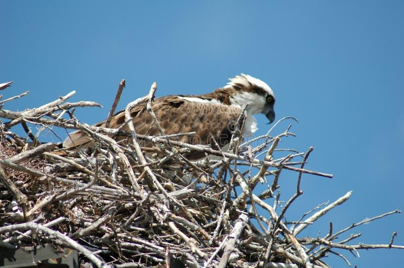 osprey1 royaltyfri fotografi