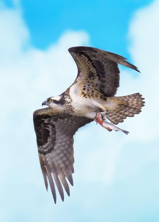 Ospreyflug mit Fischen stockfotografie
