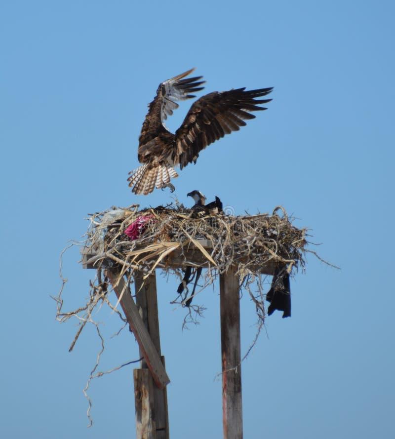 OspreyLanding no ninho no negro de Guerro em Baja California del Sur, México fotos de stock royalty free