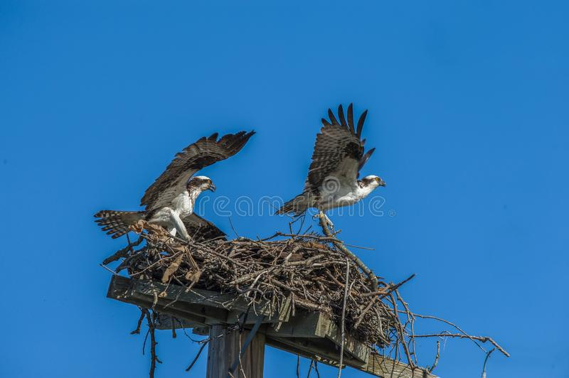 Ospreys 4584 foto de stock royalty free
