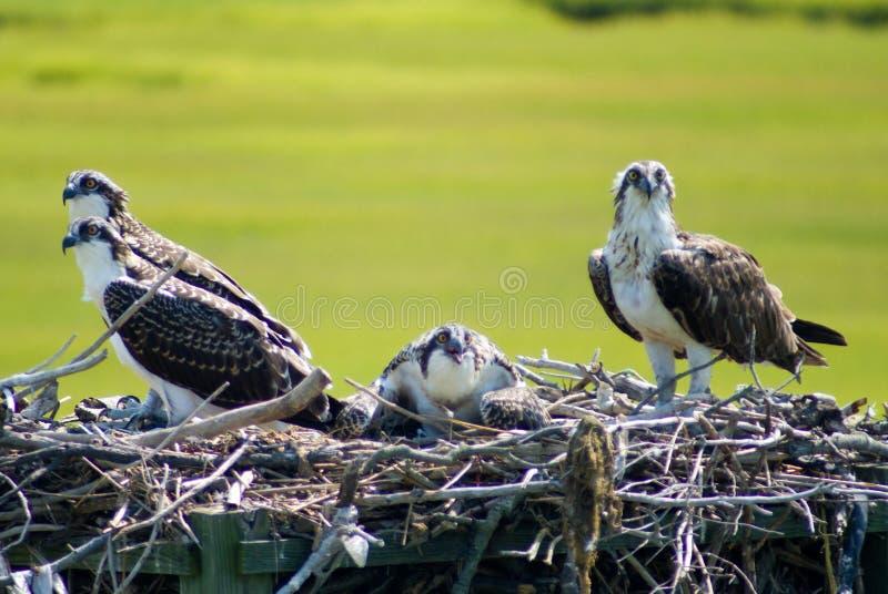 ospreys стоковые изображения