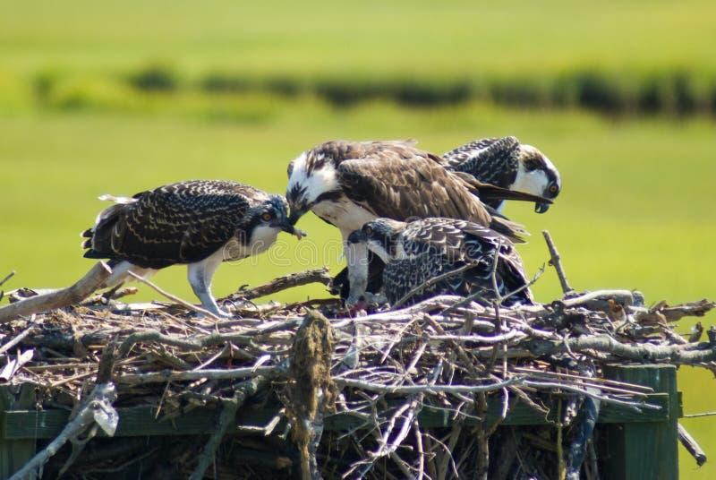 Ospreys (Speicherung) lizenzfreie stockfotografie