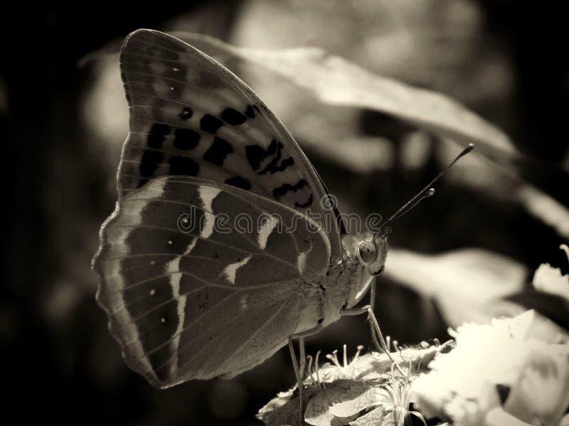 Osrebrza myjącego fritillary motyla zamkniętego w górę monochromu w zdjęcie stock