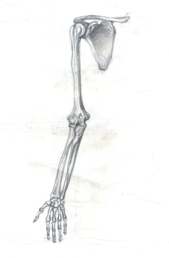 Ossa del braccio illustrazione vettoriale