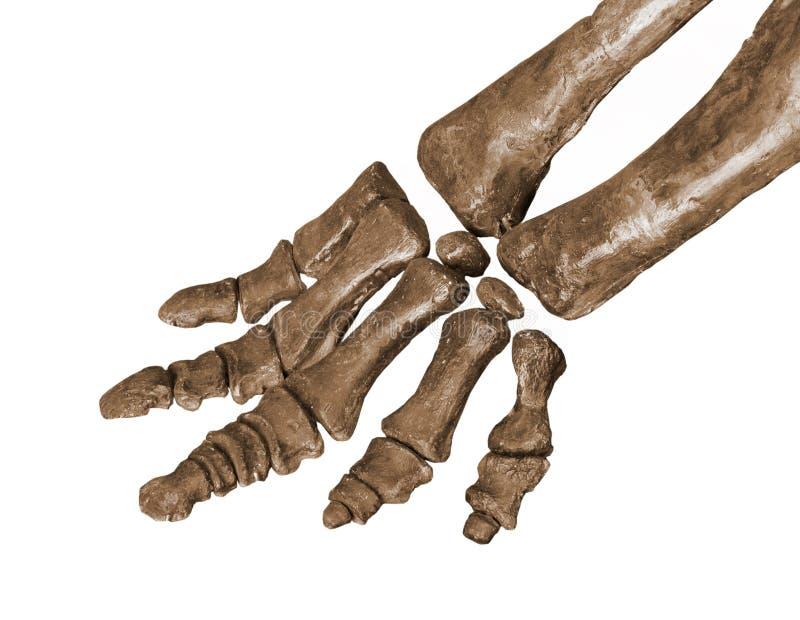 Ossa di piede del fossile di dinosauro isolate immagini stock libere da diritti