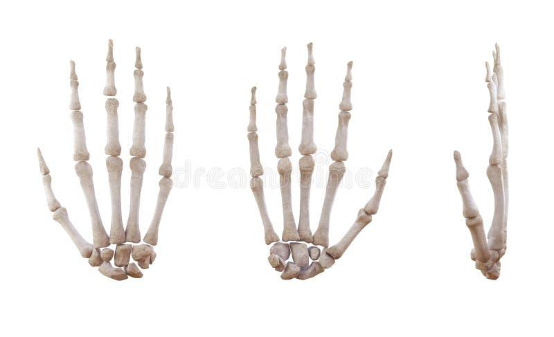 Ossa di scheletro della mano umana isolate illustrazione di stock
