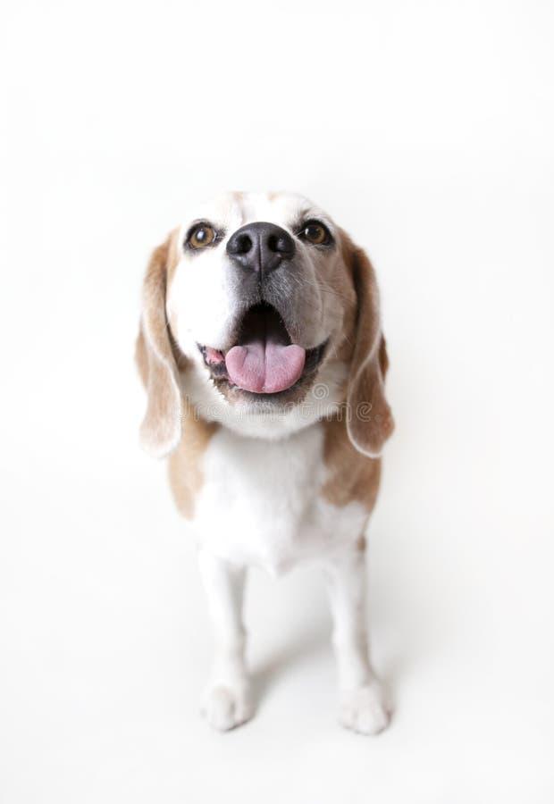 Ossequio aspettante del cane da lepre felice immagini stock libere da diritti