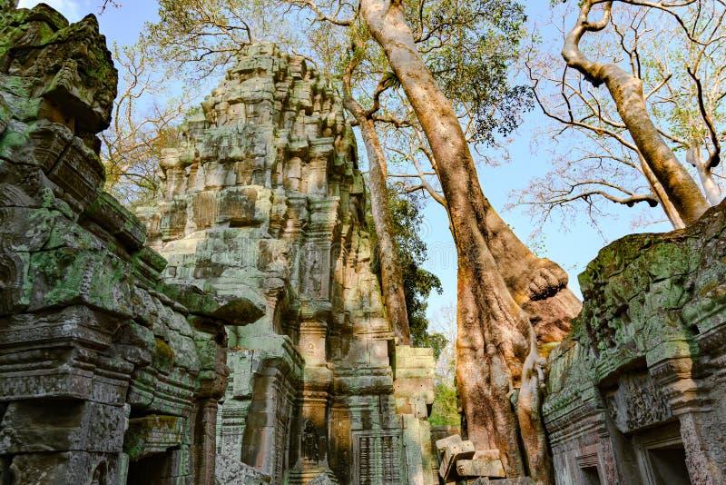 Ossequio del demage dagli alberi crescenti sul tempio di Prohm di tum, Angkor, Siem Reap, Cambogia Grandi radici sopra le pareti