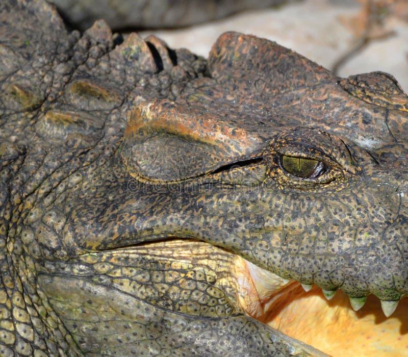 Osserva il coccodrillo immagini stock libere da diritti