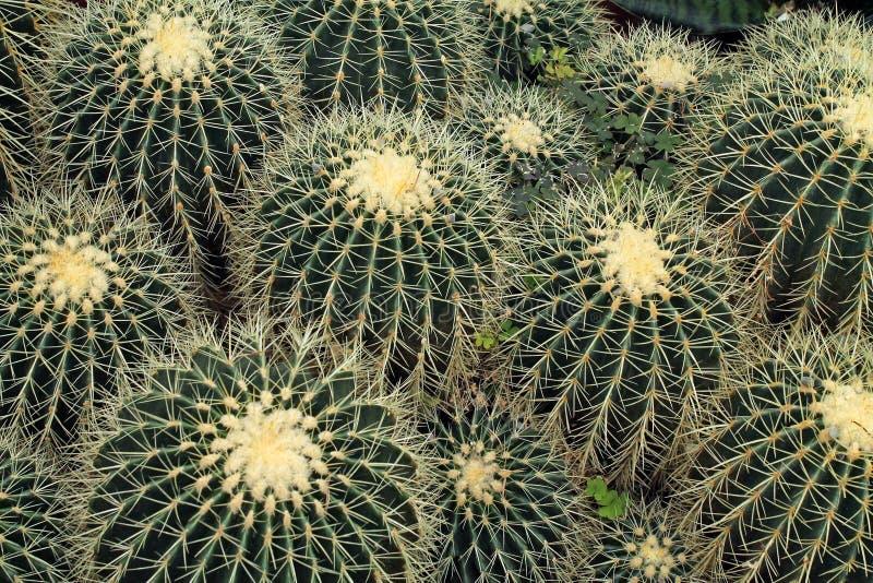 Osservando giù una collezione di cactus di barilotto fotografia stock libera da diritti