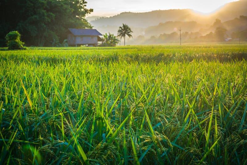 Osservi il giacimento verde del riso del paesaggio con il fondo del tramonto alla campagna fotografia stock