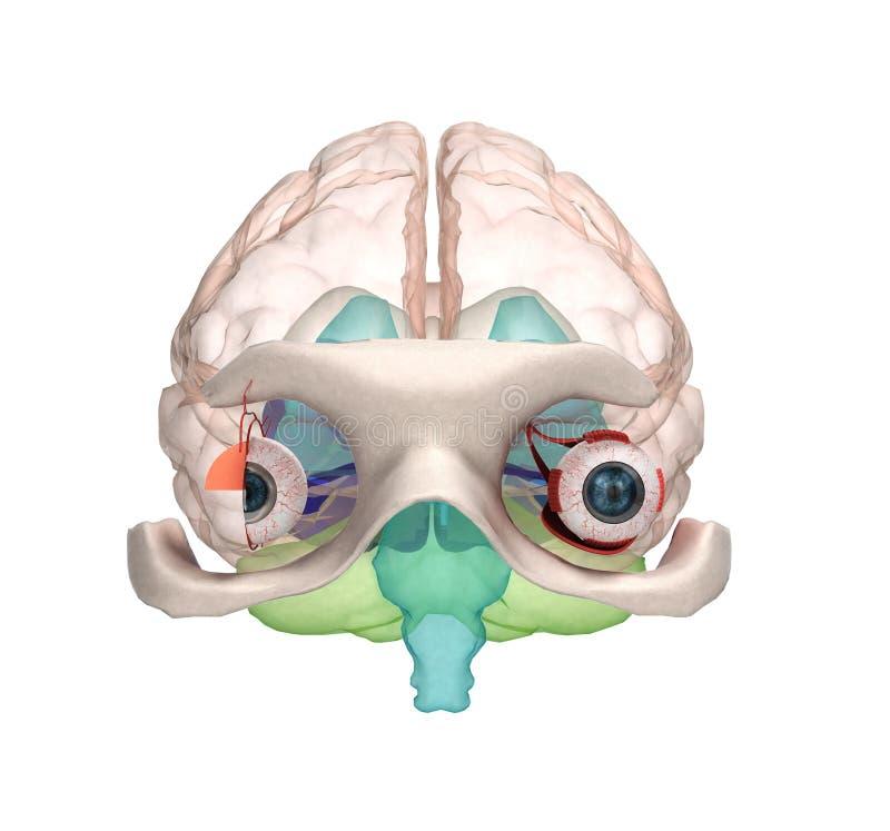 Osservi l'anatomia e struttura, muscoli, nervi e vasi sanguigni di royalty illustrazione gratis