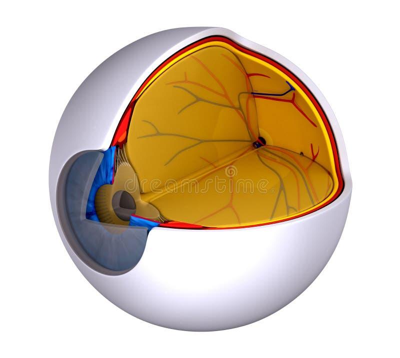 Osservi l'anatomia umana reale di sezione trasversale - isolata su bianco illustrazione vettoriale