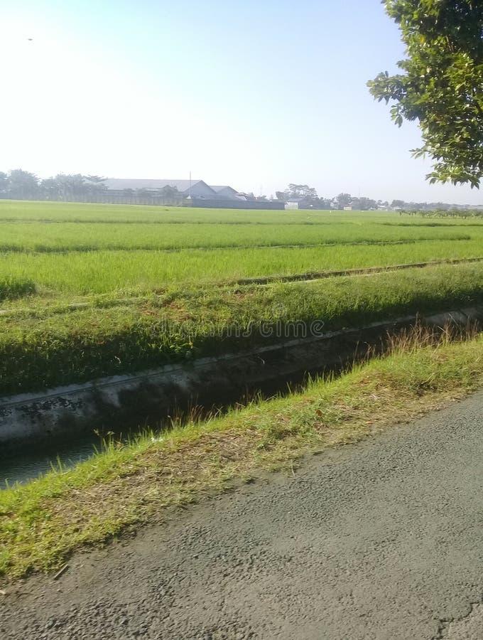 Osservi le risaie immagine stock