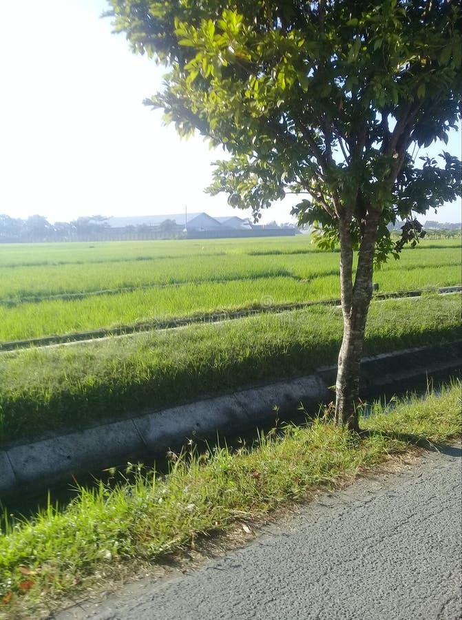 Osservi le risaie fotografie stock libere da diritti