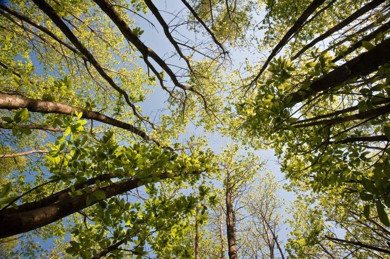 Osservi lo sguardo in su tramite il baldacchino degli alberi di faggio fotografia stock libera da diritti
