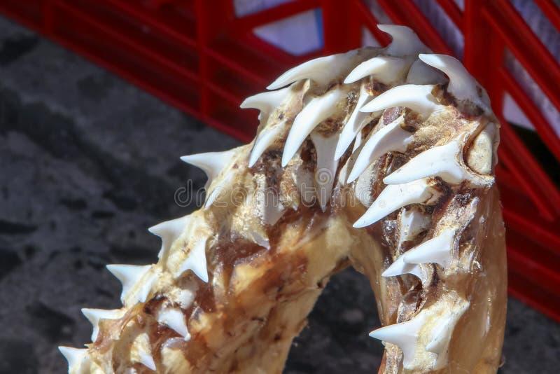 Osso da maxila do tubarão com os dentes afiados do tubarão no mercado local em Cape Town, Soth África foto de stock royalty free