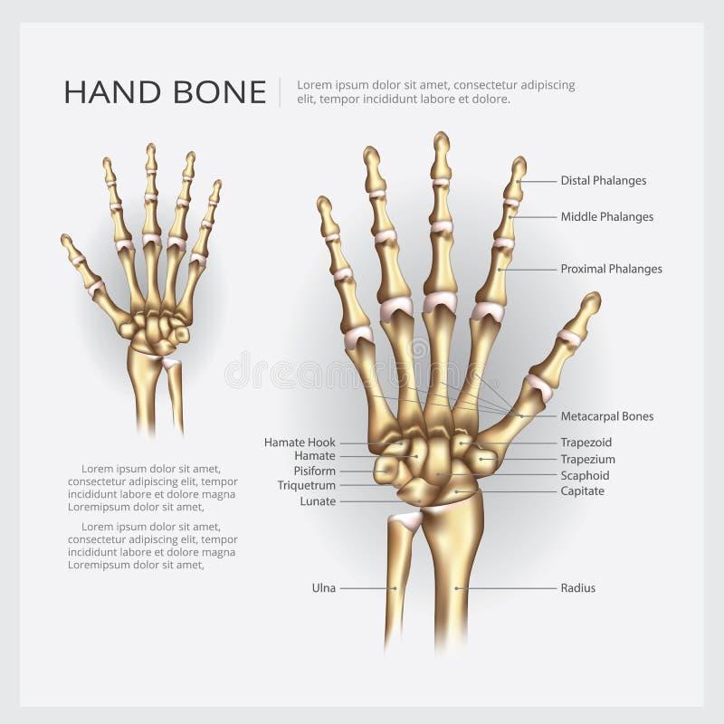 Osso de mão humano da anatomia ilustração royalty free