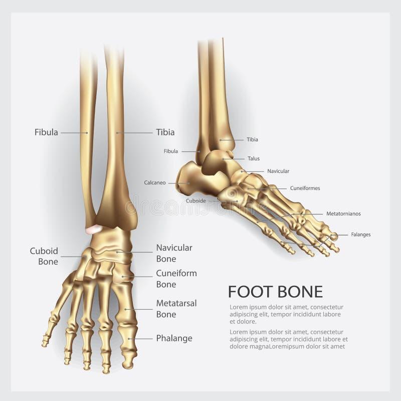 Osso de pé humano da anatomia ilustração stock