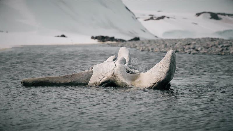 Osso de um esqueleto da baleia vídeos de arquivo