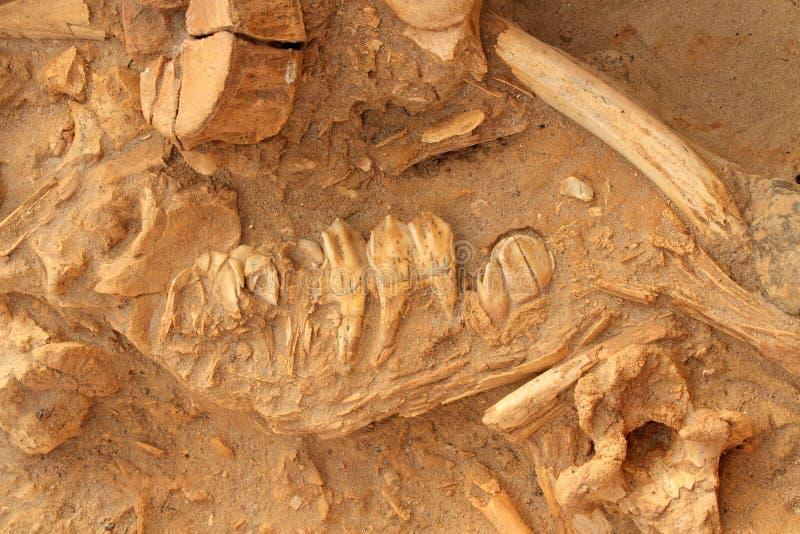 Osso fossile antico della mascella immagine stock