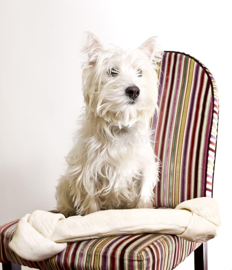 Osso grande do cão pequeno foto de stock