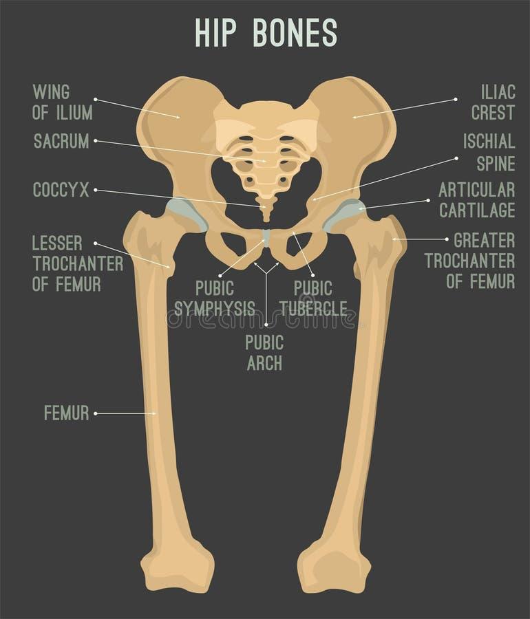 Ossos ancas humanos ilustração do vetor