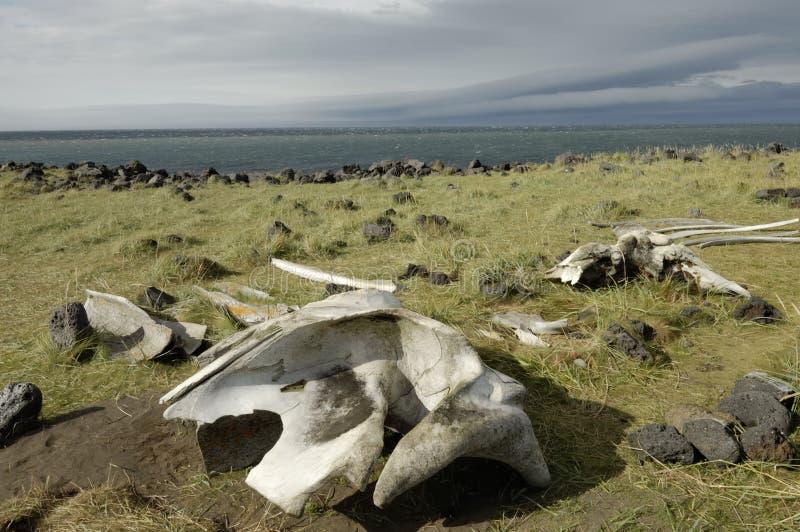Ossos da baleia na costa de Islândia. imagens de stock