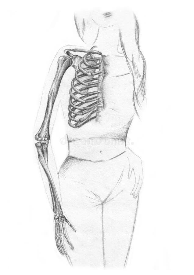 Ossos da caixa e do braço - esqueleto ilustração royalty free