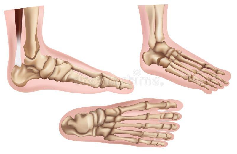 Ossos de pé ilustração stock