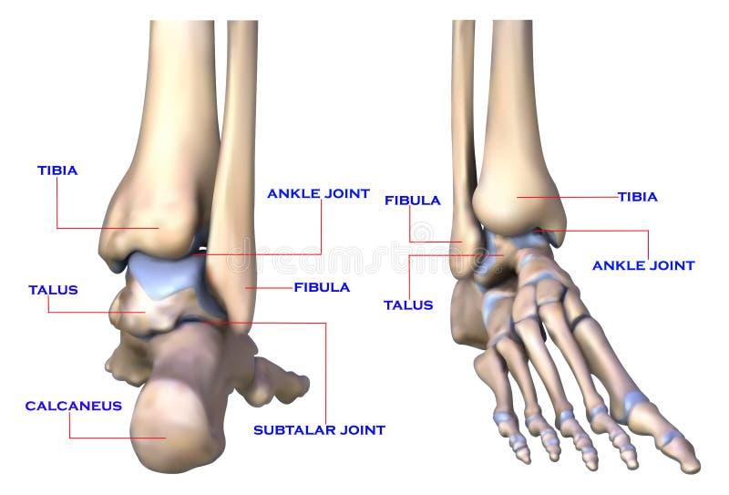 Ossos de pé ilustração do vetor