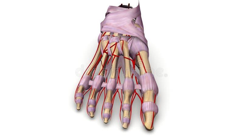 Ossos de pé com ligamentos e opinião anterior das artérias ilustração stock