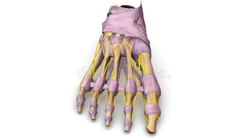 Ossos de pé com ligamentos e opinião anterior dos nervos ilustração royalty free