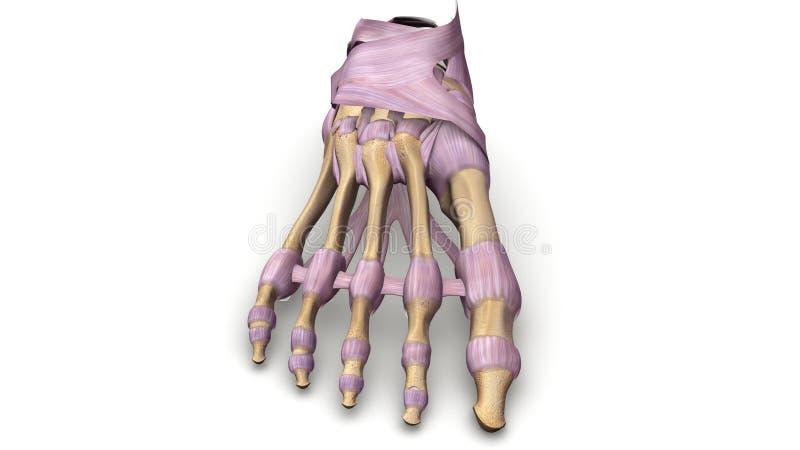 Ossos de pé com opinião anterior dos ligamentos ilustração royalty free