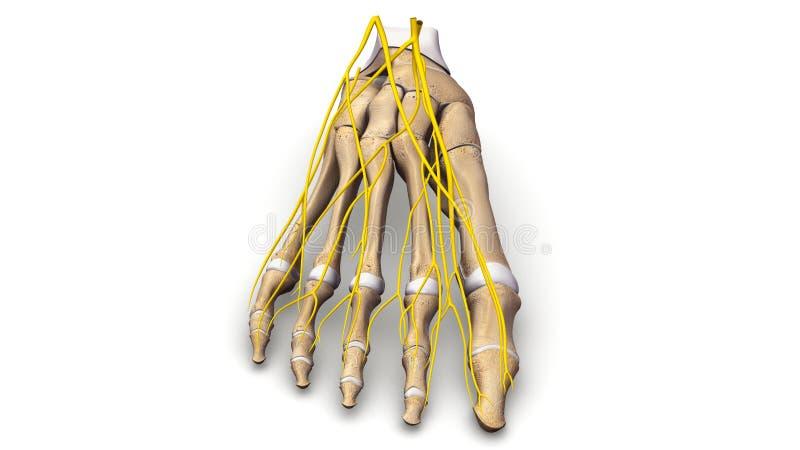 Ossos de pé com opinião anterior dos nervos ilustração stock