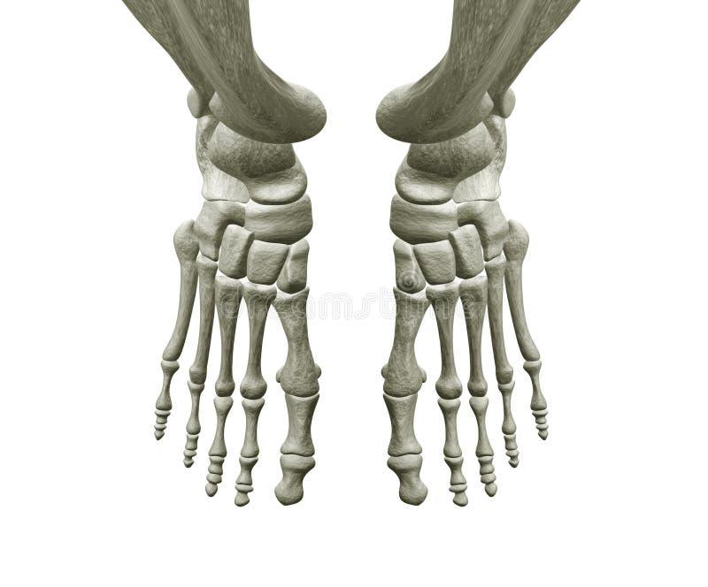 Ossos de pé direito e esquerdo ilustração stock