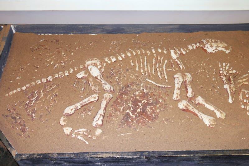 Ossos do dinossauro na areia fotografia de stock