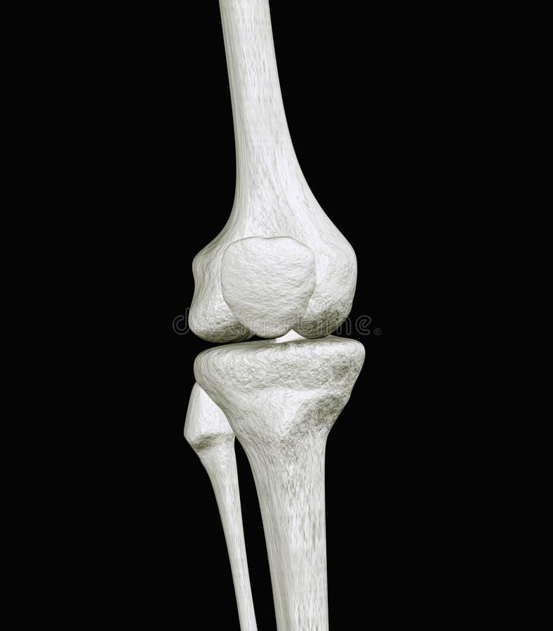 Ossos do joelho ilustração do vetor